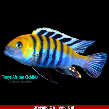 4 x Cynotilapia afra Cobue 4-5cm, Limited stock