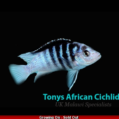 sexed pair 6-7cm Labidochromis chisumulae limited stock