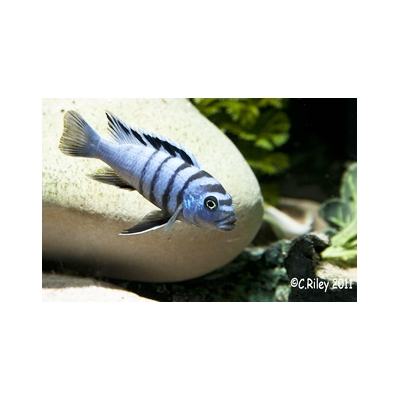 Coloured sexed pair, Cynotilapia hara gallireya reef, 7-8cm females smaller STUNNING
