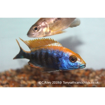 1 x male only 8-10cm Otophar..